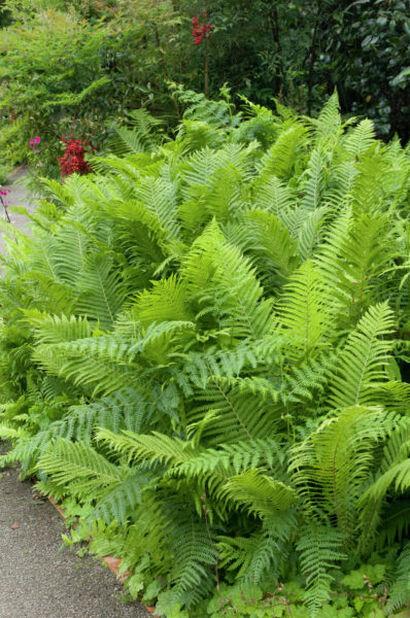 Strusteving, Høyde 15 cm, Grønn