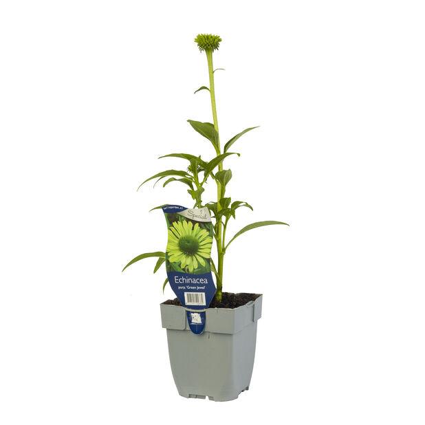 Echinacea purp. 'Green Jewel', Ø11 cm, Grønn