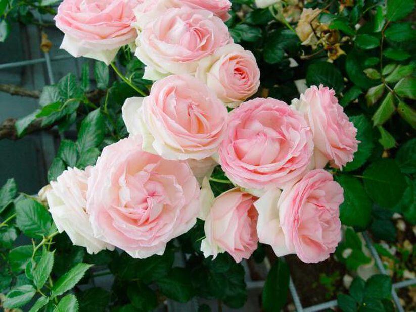 Stilkrose 'Eden Rose', Høyde 30 cm, Rosa