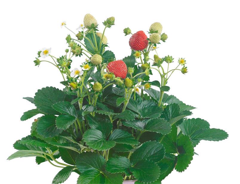 Jordbær 'Delizz', Ø14 cm, Hvit