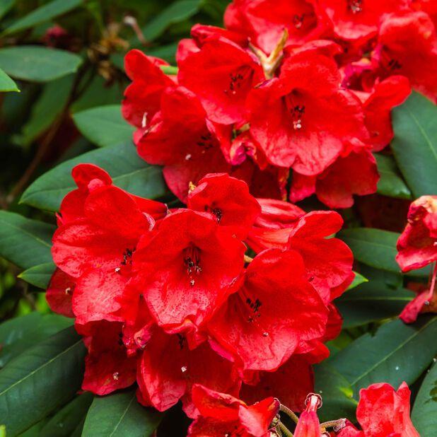 Rododendron 'Vulcan', Ø35 cm, Rød