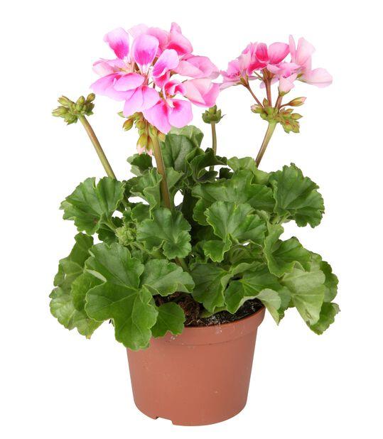 Pelargonia rosa 10,5 cm