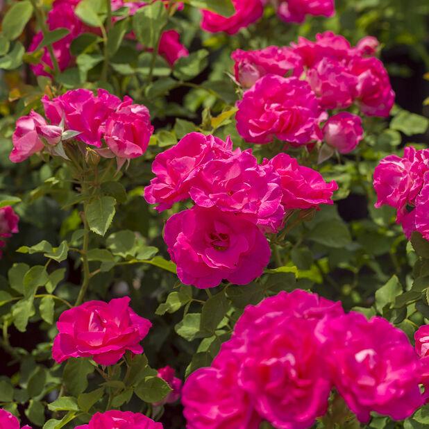 Klaserose 'Melrose', Ø19 cm, Rosa