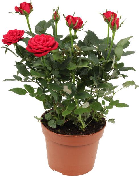 Potterose, Høyde 32 cm, Rød
