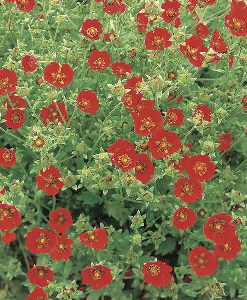 Blodmure, Høyde 15 cm, Rød