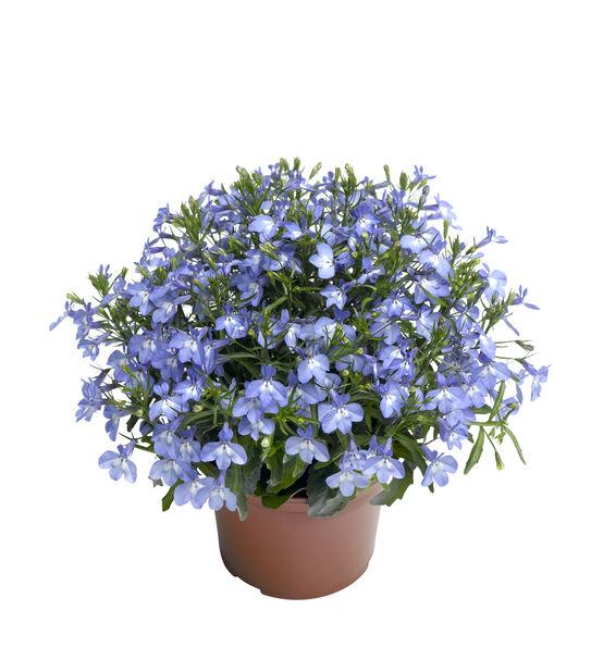 Lobelia 'Sky Blue', Ø12 cm, Blå