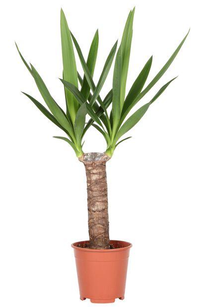 Yuccapalme, Høyde 80 cm, Grønn