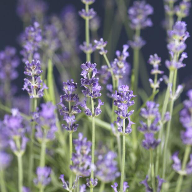 Lavendel 12 cm