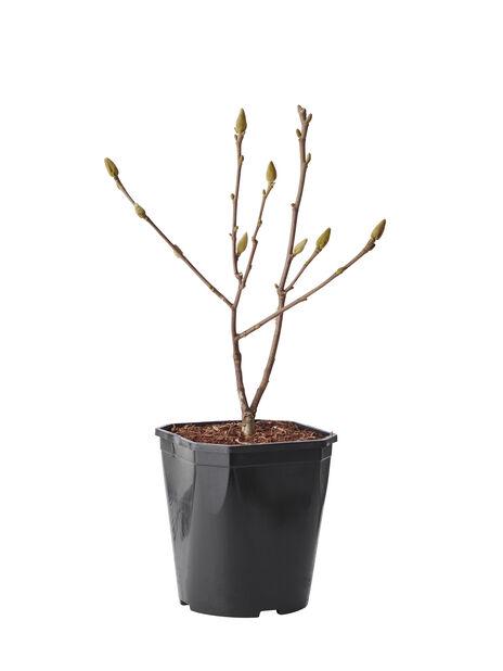 Magnolia, Ø19 cm, Hvit