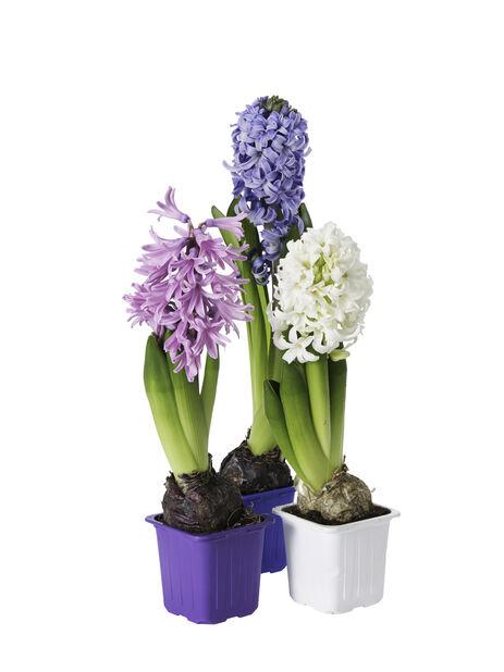 Hyacinthus orientalis hvit 7cm