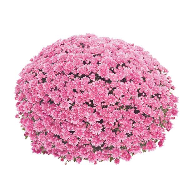 Kulekrysantemum, Ø19 cm, Rosa