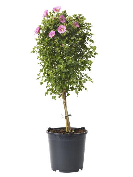 Blomsterbjørk, Ø19 cm, Rosa