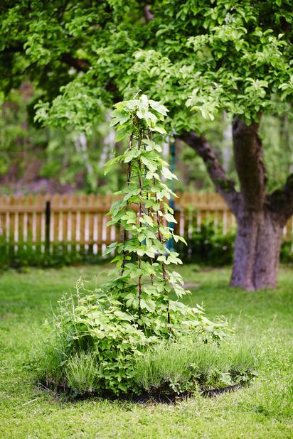 Humle, Høyde 70 cm, Grønn