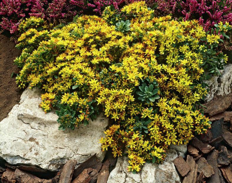 Blomsterbergknapp, Ø11 cm, Gul