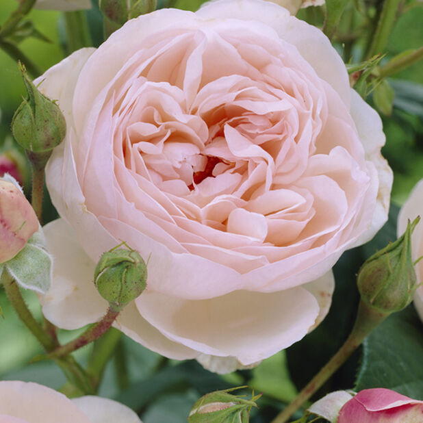 Rosa 'Eden Rose' 4L