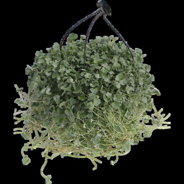 Sølvregn i ampel, Ø25 cm, Grønn