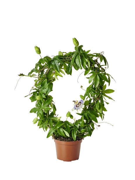Passiflora 12cm