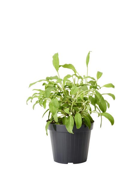 Salvie officinalis, Ø14 cm, Grønn
