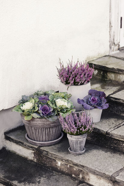 Høstlyng 'Garden Girls', Ø9 cm, Flere farger