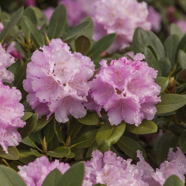 Rododendron 'Dreamland', Ø30 cm, Rosa