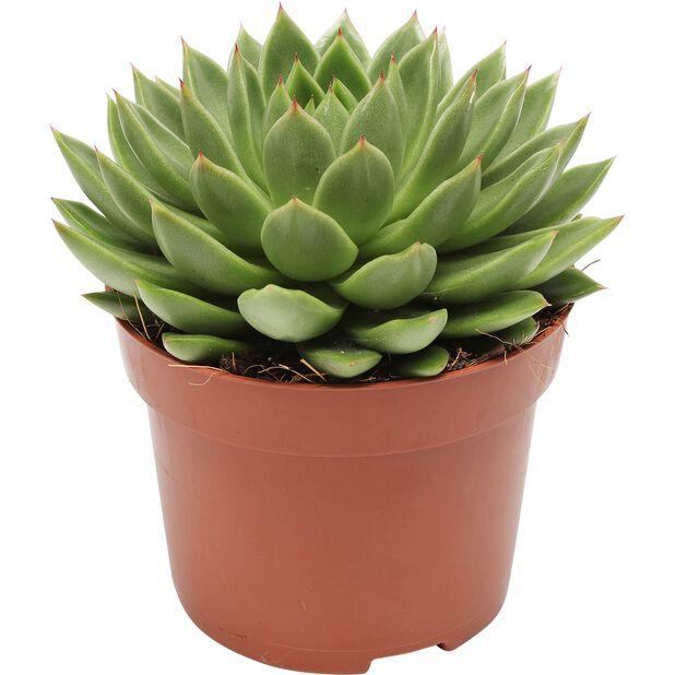 Rosetturt, Høyde 15 cm, Grønn