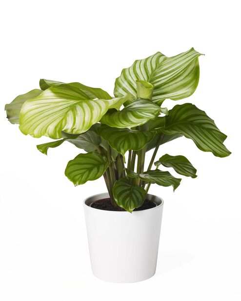 Calathea 'Orbifolia', Høyde 50 cm, Grønn