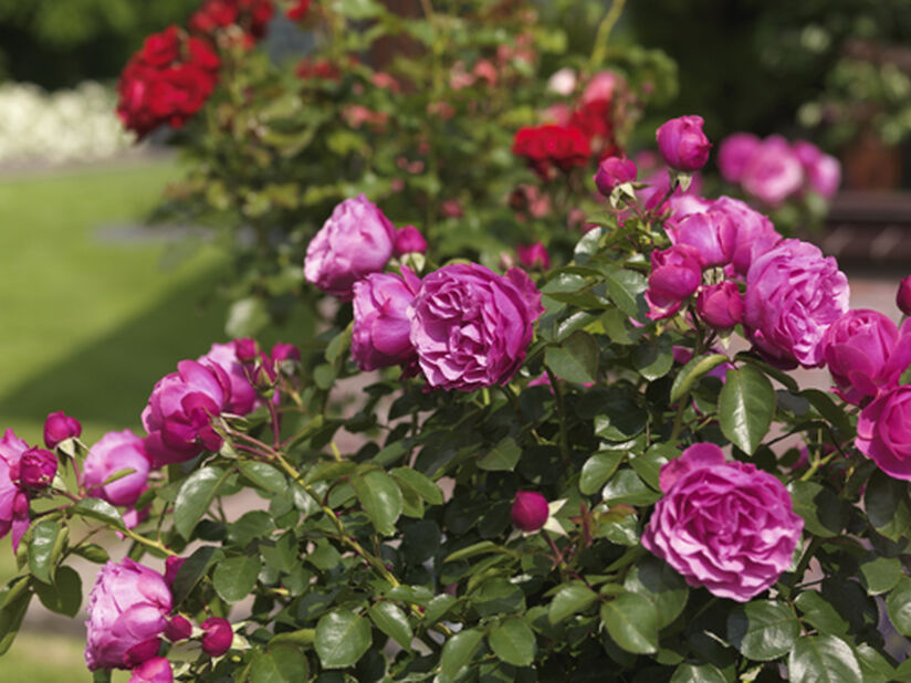 Klaserose 'Heidi Klum', Ø21 cm, Rosa