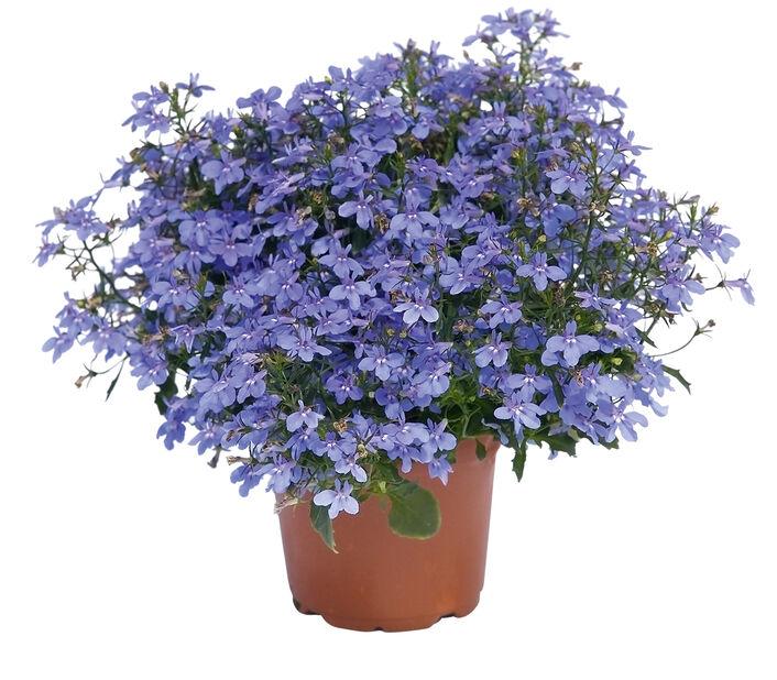 Lobelia 'Dark Blue', Ø12 cm, Blå