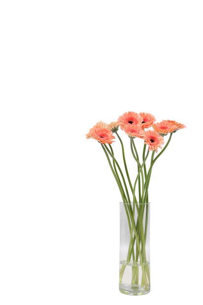 Germini, Høyde 50 cm, Flere farger