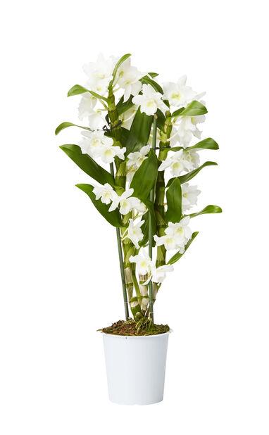 Dendrobium orkidé