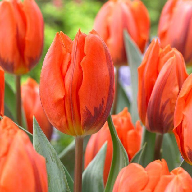Tulipan  'Hermitage ', Ø12 cm, Oransje