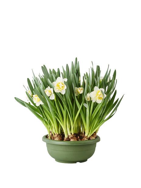 Påskeliljer i skål 23 cm
