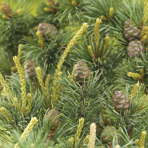 Penselfuru, Ø32 cm, Grønn