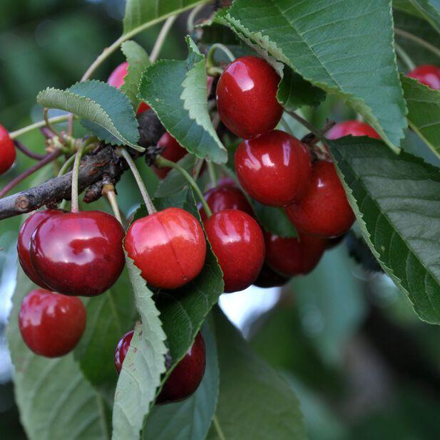 Søtkirsebær 'Burlat', Høyde 160 cm, Rød