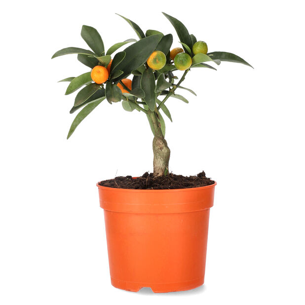 Oppstammet kumquat Ø12cm, Ø12 cm, Oransje