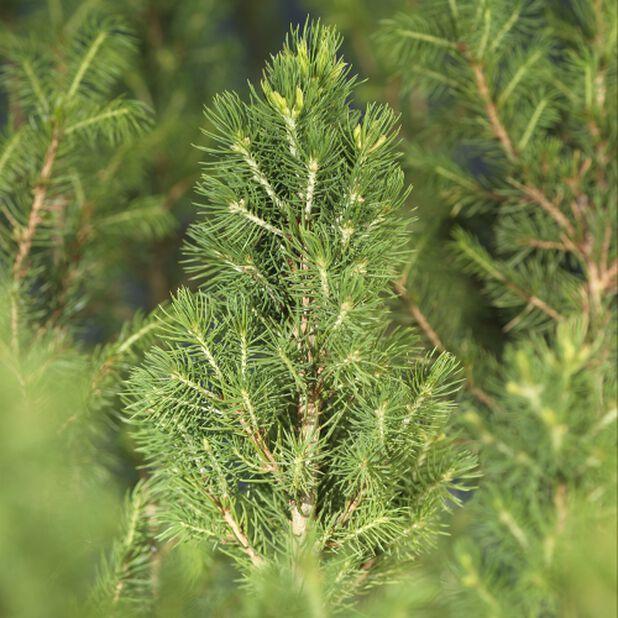 Hvitgran 'Conica', Høyde 50 cm, Grønn
