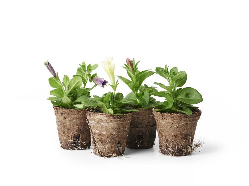 Petunia stikling, Ø6 cm, Flere farger