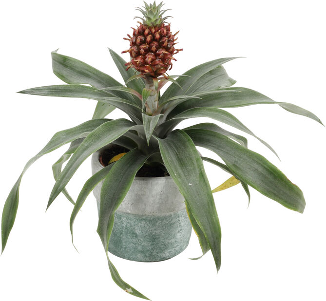 Ananas i potte, Høyde 30 cm, Grønn