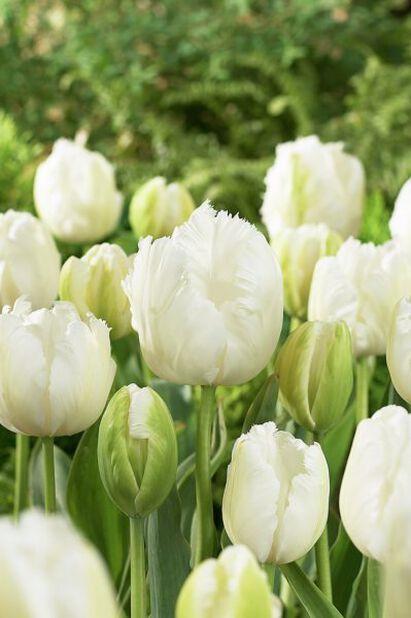 Tulipan 'White Parrot', Hvit