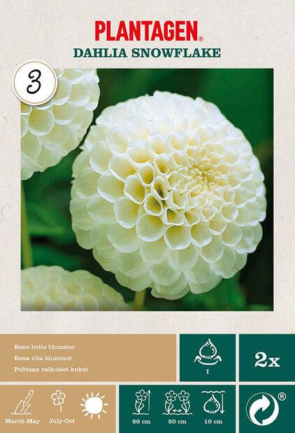 Pompong-georgine 'Snowflake', Hvit