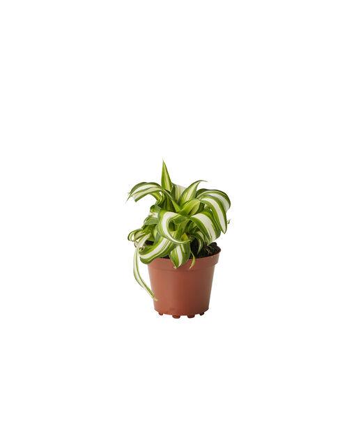 Grønnrenner, Høyde 10 cm, Grønn