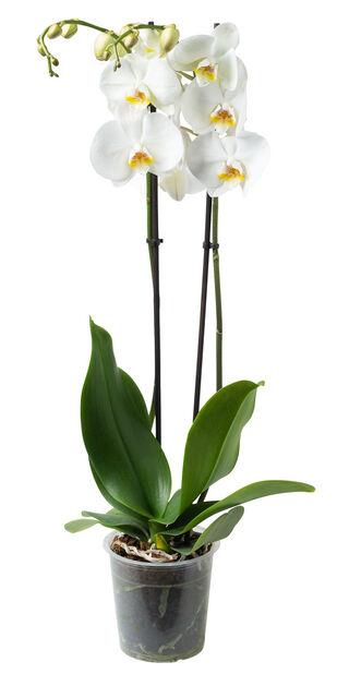 Orkidé, Ø12 cm, Hvit