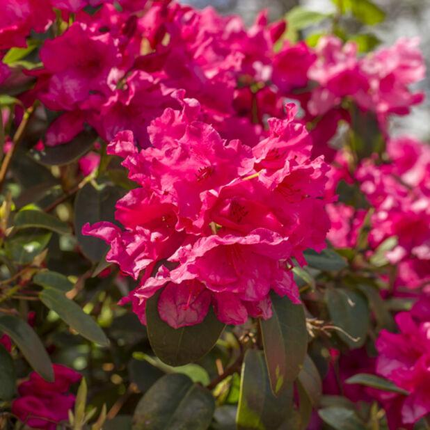 Rhododendron-hybrider, Ø32 cm, Rosa