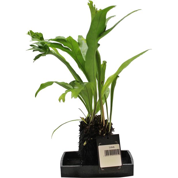 Lova grønnplante, Høyde 35 cm, Grønn