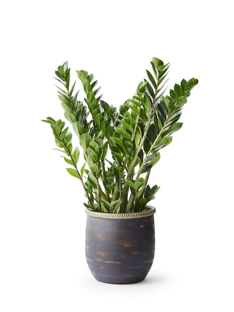 Smaragdpalme, Høyde 65 cm, Grønn
