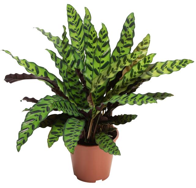 Calathea 'Lancifolia' 19 cm