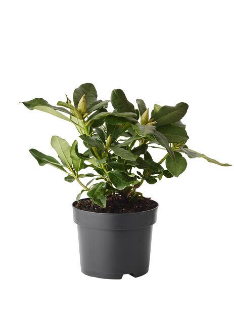 Parkrododendron 'Catawbiense Grandiflorum', Ø17 cm, Lilla