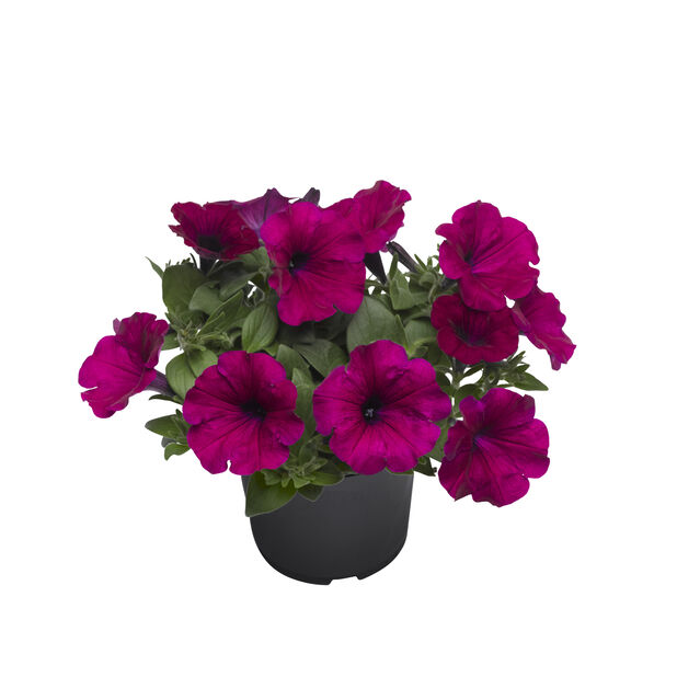 Petunia storblomstret, Ø12 cm, Lilla