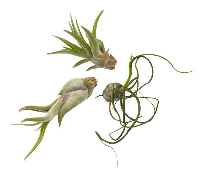 Tillandsia mix, Høyde 15 cm, Grønn