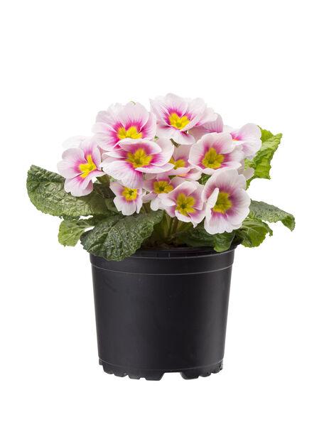 Primula vulgaris, Ø10.5 cm, Flere farger